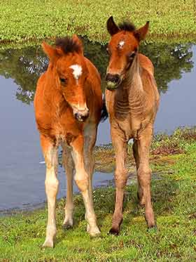 A pair of New Forest foals near Hatchett Pond