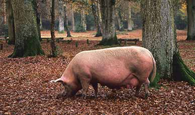 A pig feeding near Hollands Wood campsite
