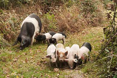 A family of pigs foraging near Bank