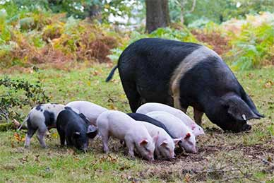 Another family of New Forest Pigs feeding in woodland near Lyndhurst Road, Burley