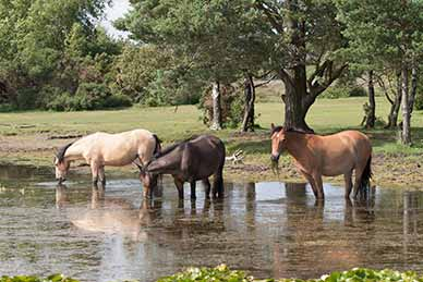 Ponies feast on aquatic vegetation at Long Pond, near Burley