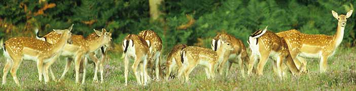 Fallow deer can often be seen in and around the Bolderwood Deer Sanctuary