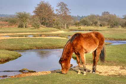 A pony grazes quietly beside the Latchmore Brook
