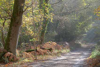 Roydon Woods - early morning in autumn