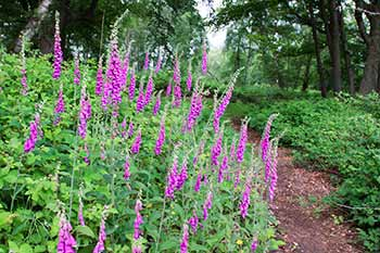 Foxgloves add a prominent splash of summer colour to the old fort's ditches and ramparts