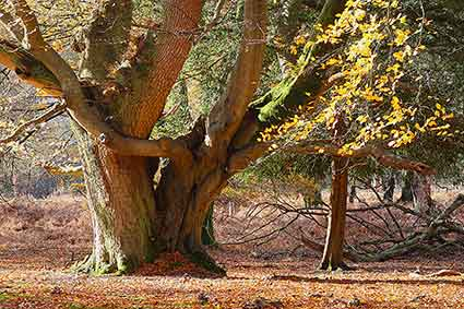 Oak and beech trees growing together in Mark Ash Wood
