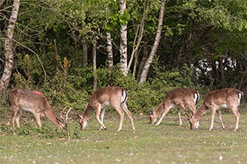 A large herd of fallow bucks sometimes frequents the grasslands around Ocknell campsite - here are four of them, with a caravan just visible in the background