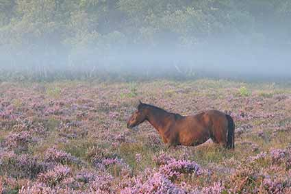 A commoner's pony on a misty White Moor morning