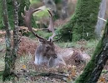 Time for this fallow buck<br />  to rest after a busy morning rutting