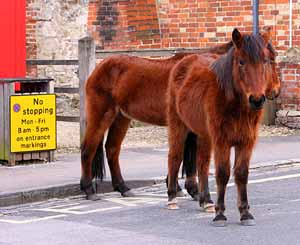 New Forest ponies ignore no stopping signs