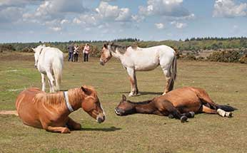 New Forest ponies enjoying the sunshine