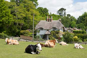 Commoners' cattle at Swan Green