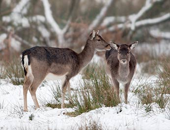 Snow doesn't often lie for long in the New Forest so its presence must come as a shock to the local deer