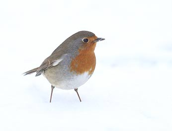 A robin in snow: very much a winter scene