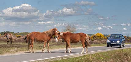New Forest ponies in the road