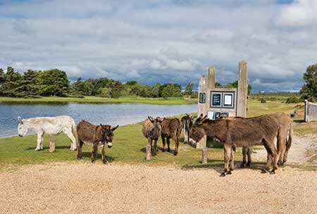 Donkeys and other commoners' animals often gather beside Hatchet Pond
