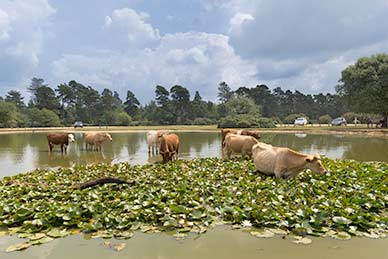 Cattle in Janesmoor Pond, near Stoney Cross airfield, taking a well-earned drink on a hot spring day