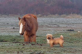 Pip the terrier and a friendly pony at Longwater on a frosty winter's morning