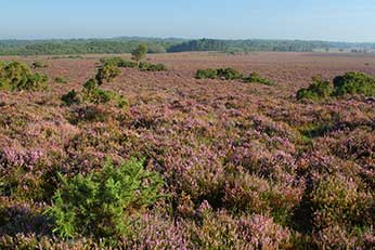 The heathers in bloom on White Moor