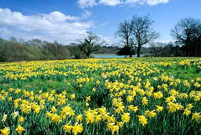 Daffodils in full bloom at Exbury Gardens