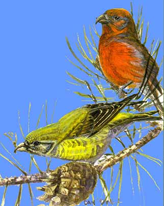 Crossbills - a brightly coloured pair (illustration courtesy of Dan Powell)