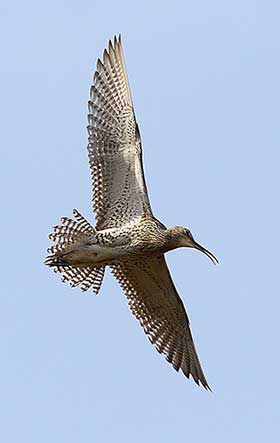 Curlew in display flight