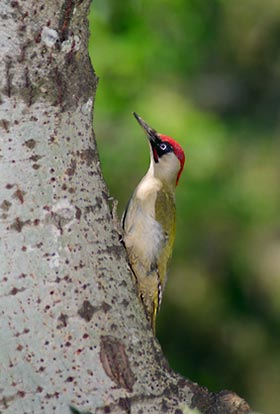 Great Spotted Woodpecker Lesser Spotted And Green Woodpecker