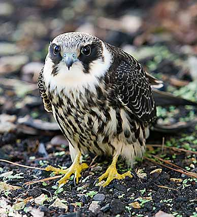 hobby - image courtesy of Richard Lock Photography