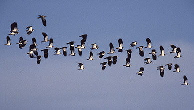 Lapwings - a winter flock
