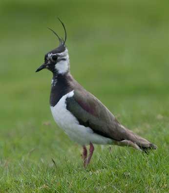 Lapwing - a strikingly handsome bird
