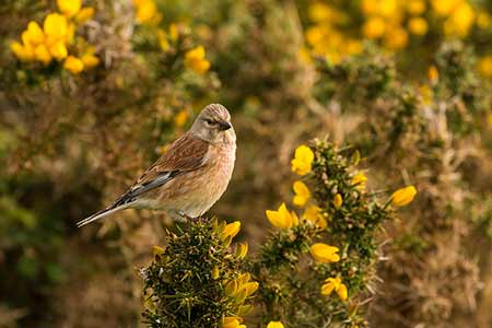A Linnet in late April amongst gorse - the merest hint of pink on the breast and forehead, the chestnut back and strong tail and wing markings suggest that maybe this a male still to take on full breeding plumage, but there again ....