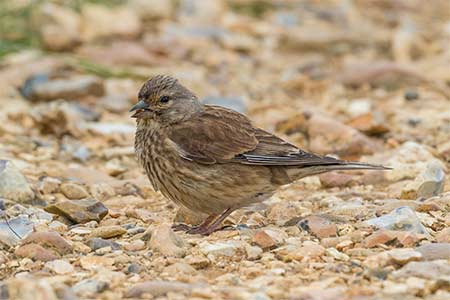 A female Linnet on the seawall at Keyhaven