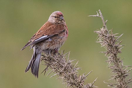 A male Linnet in early June, looking a little careworn in the midst of the breeding season