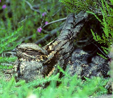 A nightjar with chicks at the nest