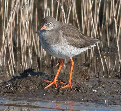 Redshank - a ground nesting bird that is particularly susceptible to disturbance