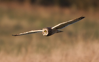 Short-eared owl - a master of the airways