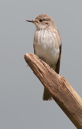 Spotted flycatchers are spring and summer visitors to the New Forest