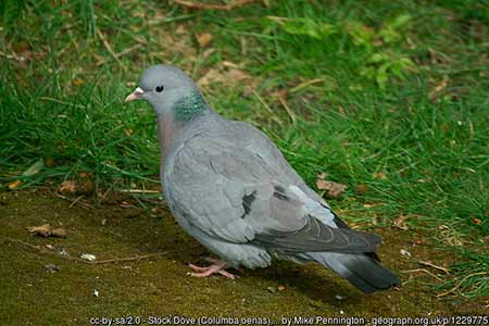 A Stock Dove attracted by seeds put out for the birds in a suburban garden