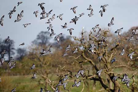 A flock of Stock Doves on farmland in April, a gathering probably suggestive of spring passage
