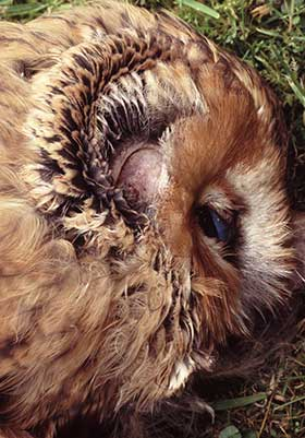 The huge ear orifice is clearly visible on this tawny owl - a road traffic casualty