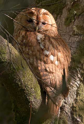 A tawny owl well-concealed in dappled woodland light
