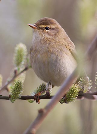 Willow warblers - such as the bird shown above - can best be separated from closely related chiffchaffs by listening to their song