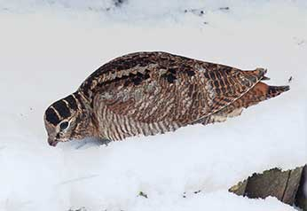 Woodcock - a spendid bird with wonderfully patterned plumage, and long bill specially evolved for reaching deep down into mud (and snow)