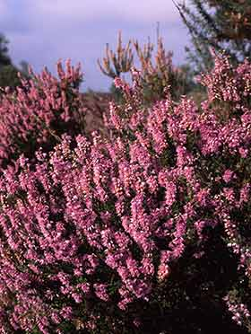 Heather Bell Heather And Cross Leaved Heath New Forest