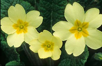 New Forest wild flowers: primroses