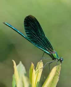 New Forest streams: beautiful demoiselle