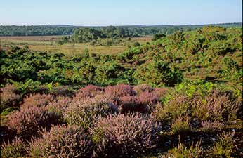 New Forest heathland: Clayhill Bottom, Holmsley