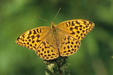New Forest broadleaved inclosures: silver-washed fritillary