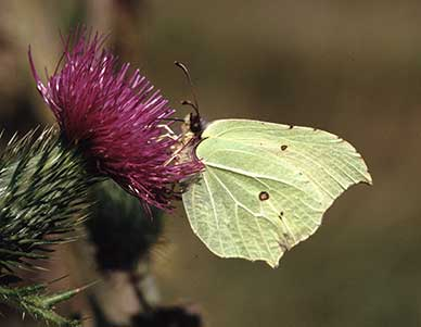 New Forest butterflies - a brimstone