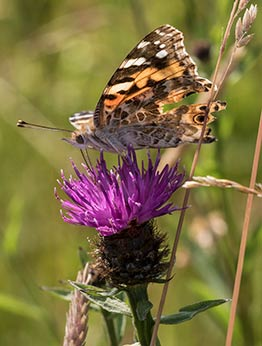 A rather ragged Painted Lady with torn wing, feeding on knapweed